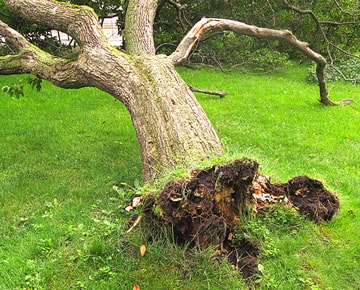 Storm damage uprooted tree Emergency Tree Services