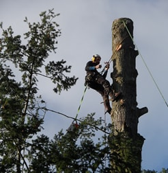 Tree Surgeon at work sectional felling