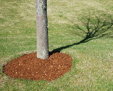 Example of mulching around young tree