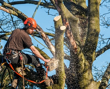 Tree Pruning Professional Arborist at work