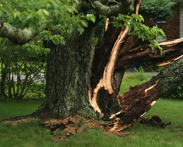 Assessment of storm damaged tree